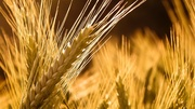 Продам пшеницу 3 класс